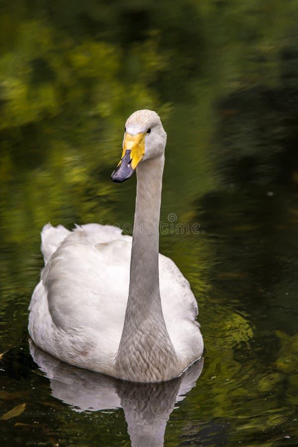 白色天鹅在湖游泳 库存图片