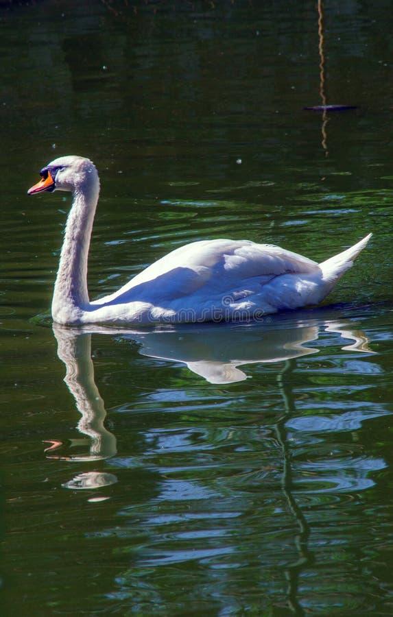 白色天鹅在绿色湖 免版税库存照片