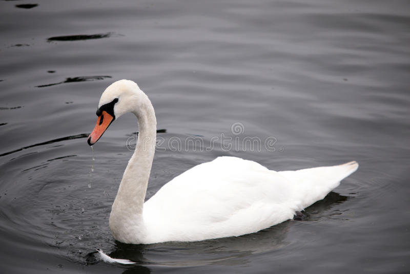 白色天鹅在阴沉的大西洋 免版税库存照片