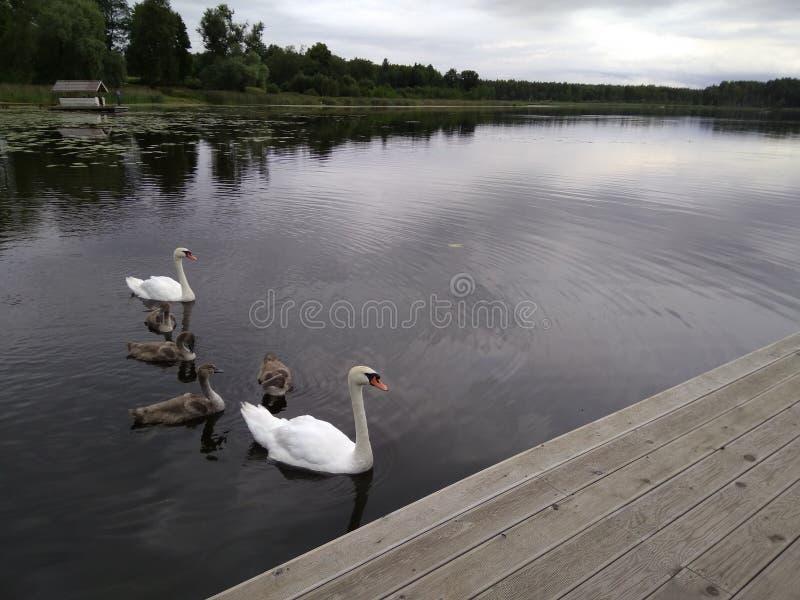 白色天鹅家庭在湖游泳在多云天空下 免版税库存图片