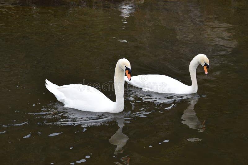 白色天鹅对在水中 免版税库存图片