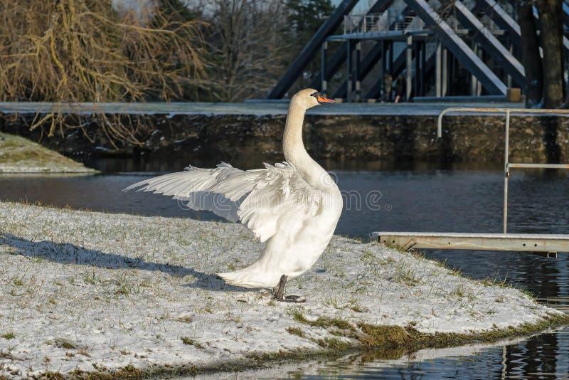 白色天鹅拍动它的翼 库存照片