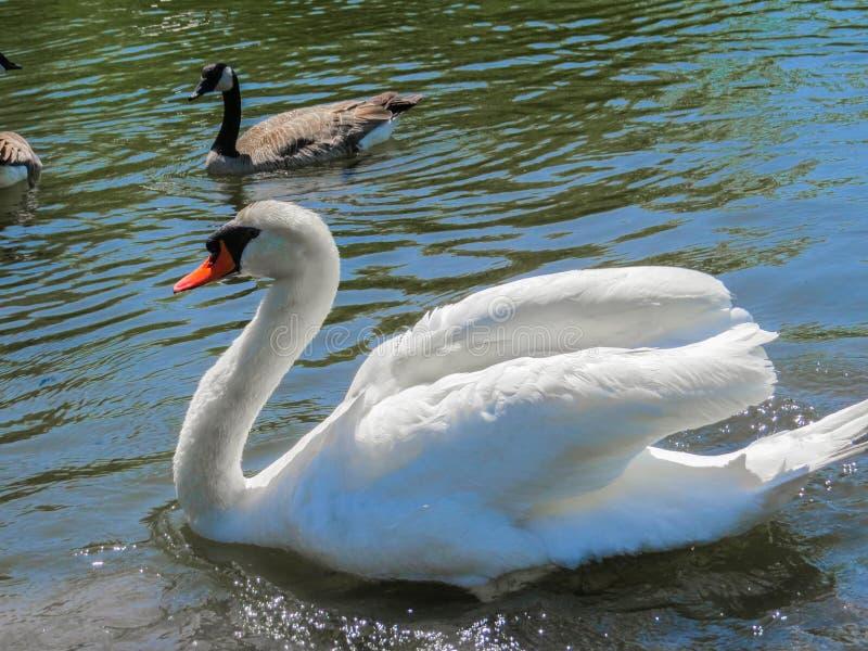 白色天鹅游泳 库存图片