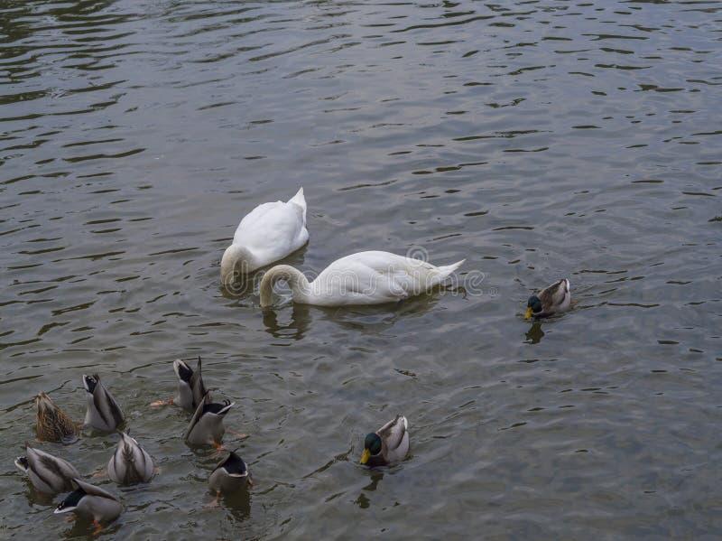 白色天鹅潜水夫妇朝向入有小组od鸭子的a池塘 免版税库存照片