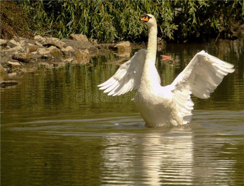 白色天鹅特写镜头在湖的绿色水的,与翼的大水禽延长,野生动物 图库摄影