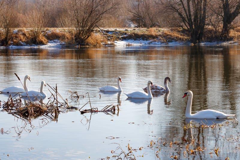 白色天鹅群在冬天沿河的含水表面游泳 免版税库存图片