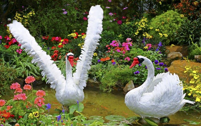 白色天鹅诱饵在春天庭院里 免版税图库摄影