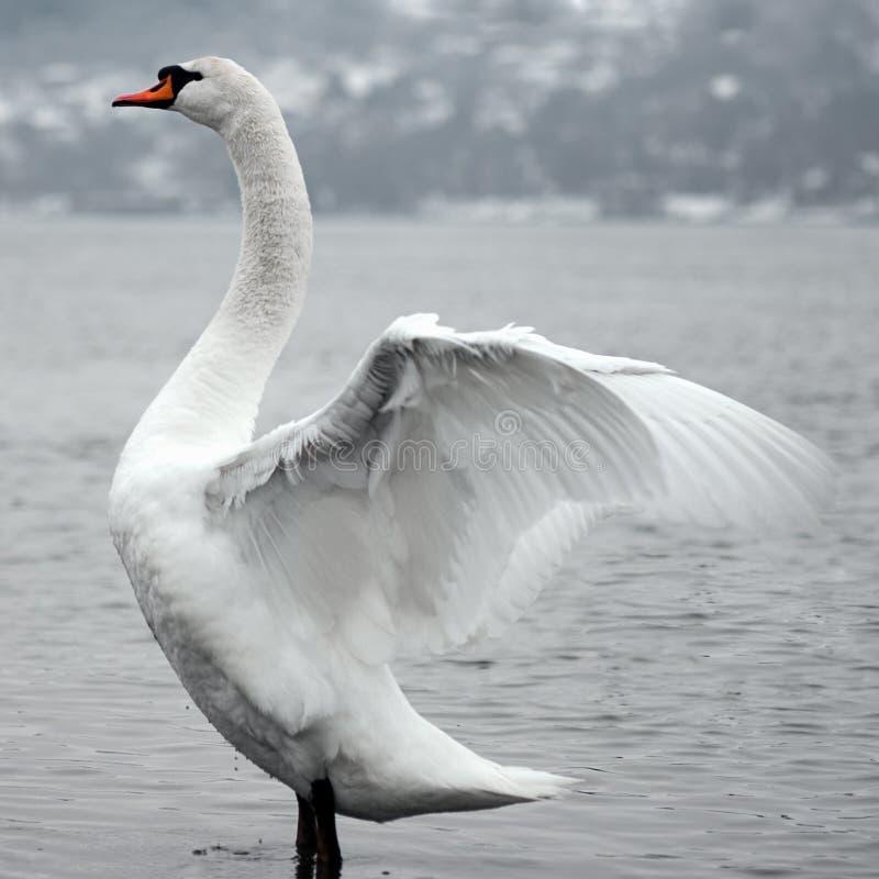 白色天鹅鸟 图库摄影