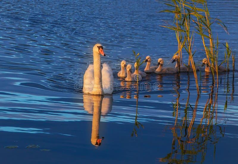 白色天鹅-在水的母亲和崽天鹅 免版税图库摄影