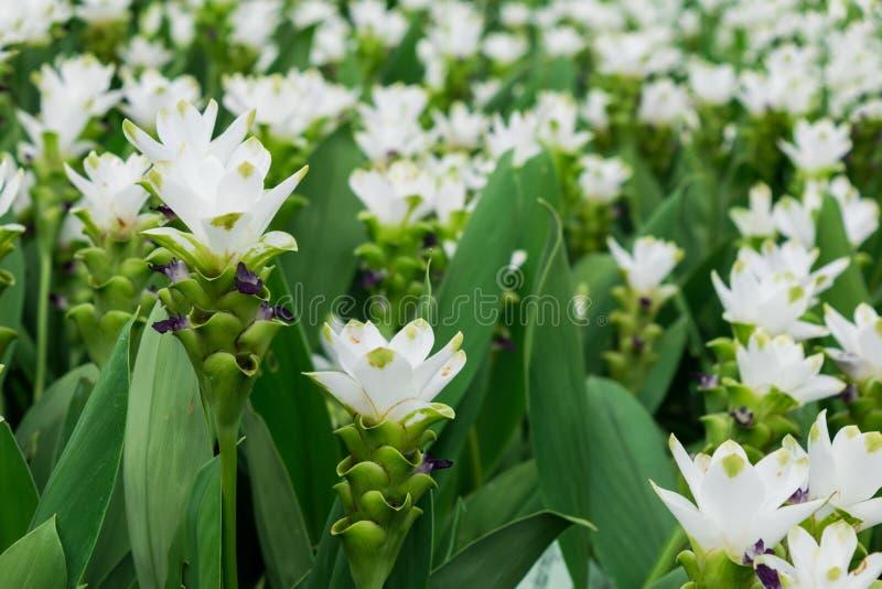 白色姜黄花或泰国郁金香花在种植园庭院或公园为装饰风景区域或从事园艺房子 免版税库存照片