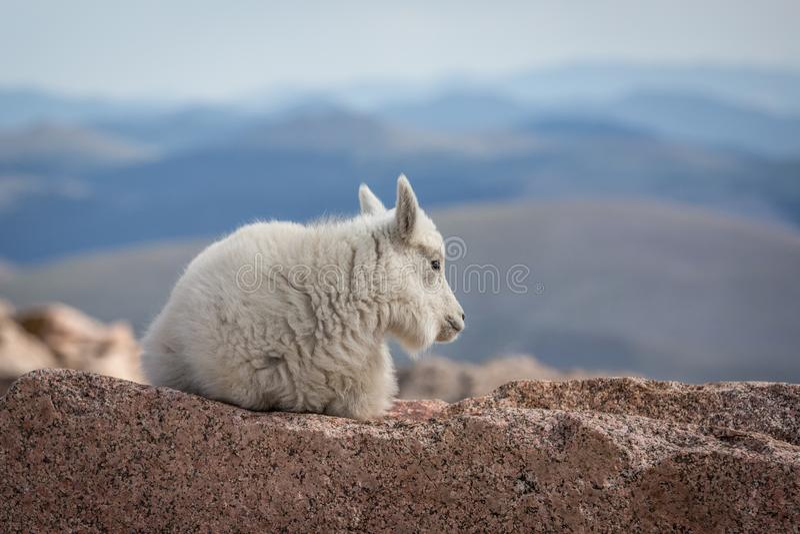 白色婴孩石山羊 库存图片
