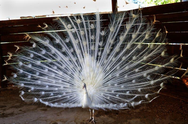 白色孔雀溶化了一条大和美丽的尾巴 库存照片