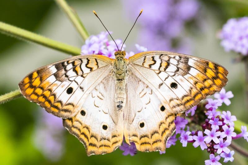 白色孔雀铗蝶,女性,宏观射击的关闭 免版税库存照片