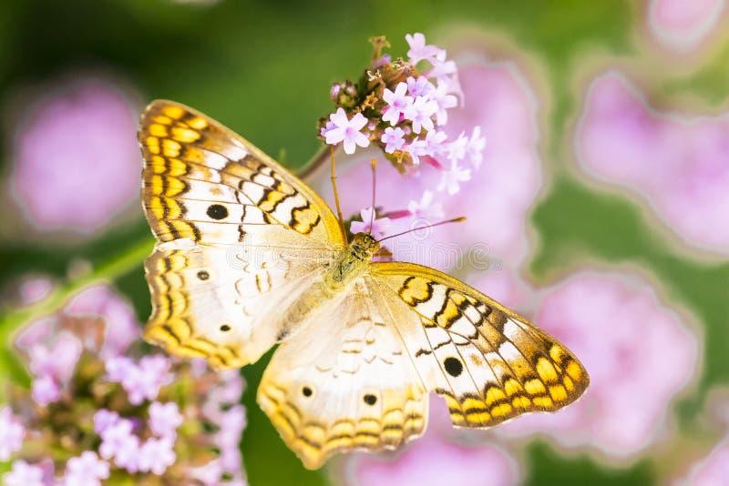 白色孔雀铗蝶,女性,宏观射击的关闭 库存图片