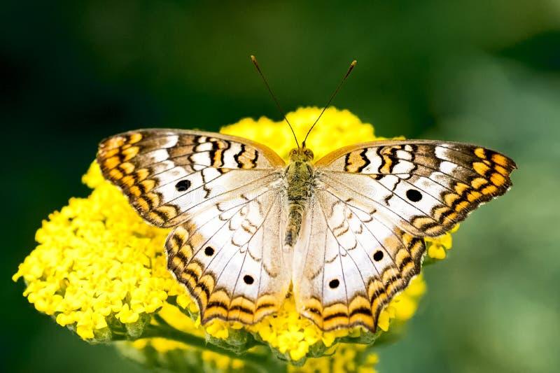 白色孔雀铗蝶,宏观射击的关闭 免版税库存照片