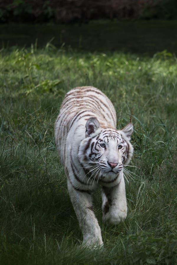 白色孟加拉老虎步行  库存照片