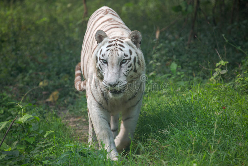 白色孟加拉老虎通过开放草原走 免版税库存照片