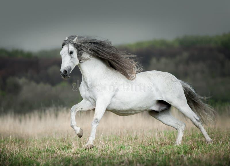 白色安达卢西亚的马奔跑释放