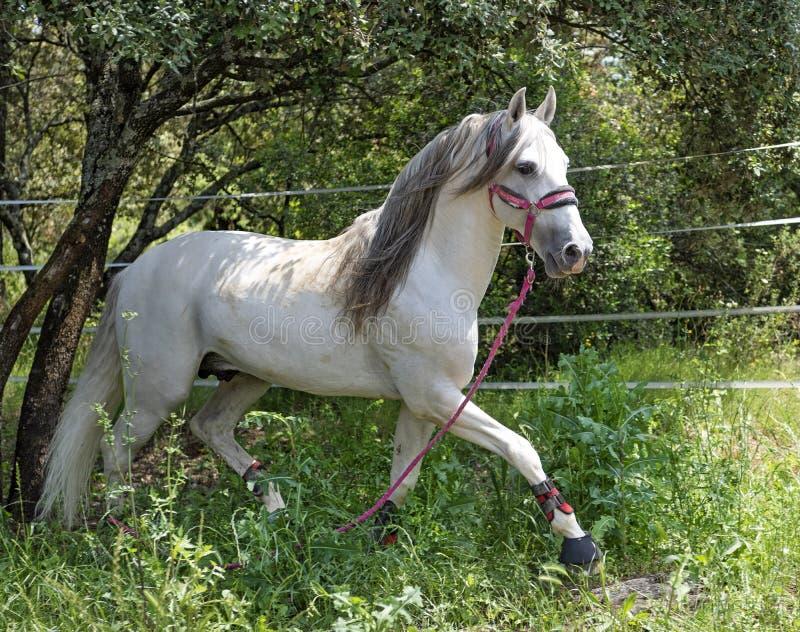白色安达卢西亚的马 免版税库存图片