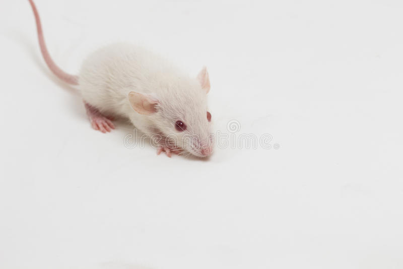 白色实验室鼠 库存照片