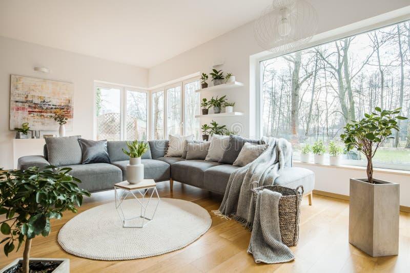 白色客厅内部的新鲜的绿色植物与有枕头和毯子的壁角沙发,玻璃门和小桌与郁金香 免版税库存照片