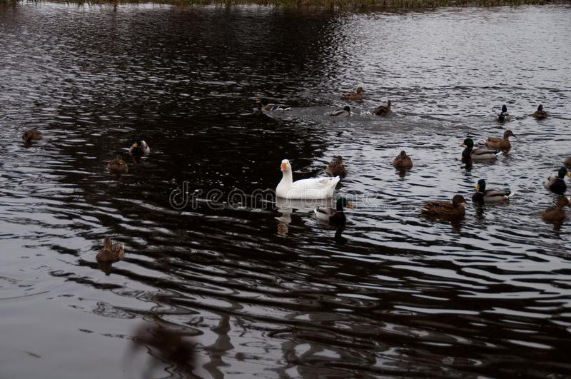 白色家养的在白色隔绝的鹅和鸭子 免版税库存照片