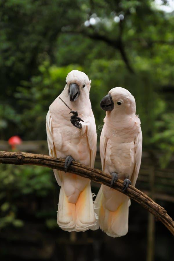 白色对爱情鸟 库存图片