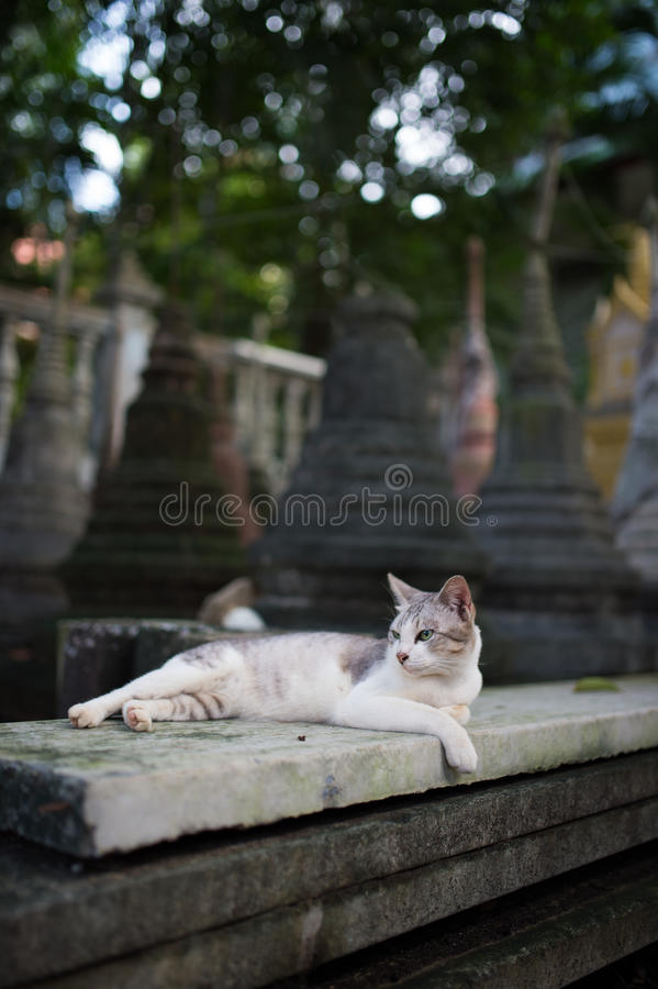 白色寺庙猫 库存照片
