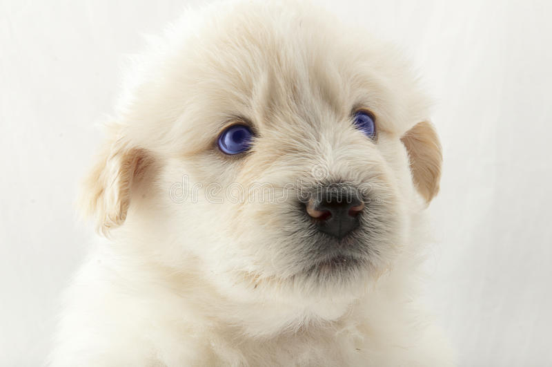 白色小狗枪口南俄国牧羊人 免版税库存照片
