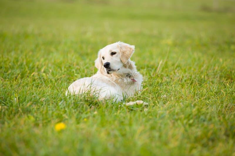 白色小狗金毛猎犬狗在草覆盖的领域中间放置 图库摄影