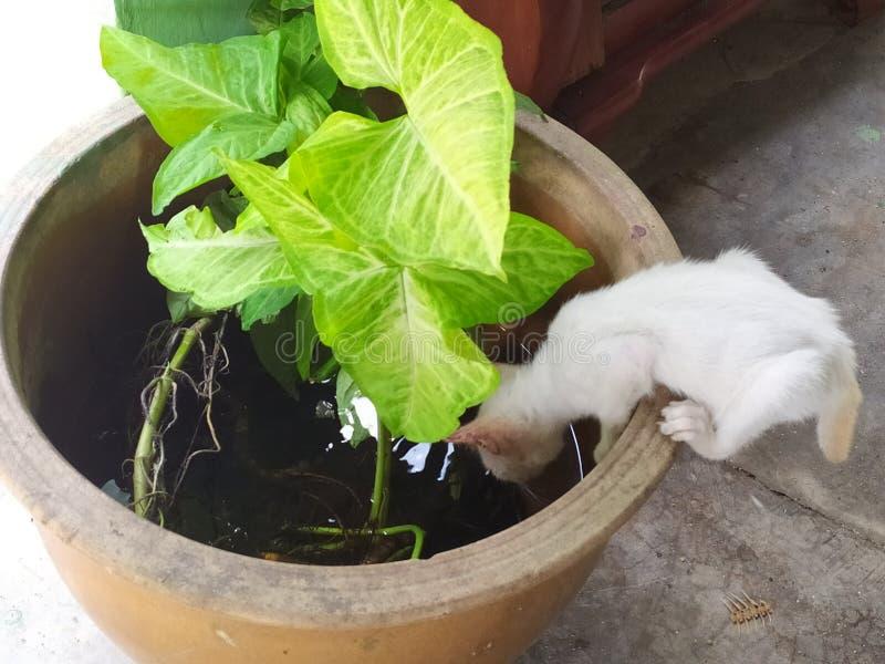 白色小猫是在花盆的饮用水 免版税库存图片
