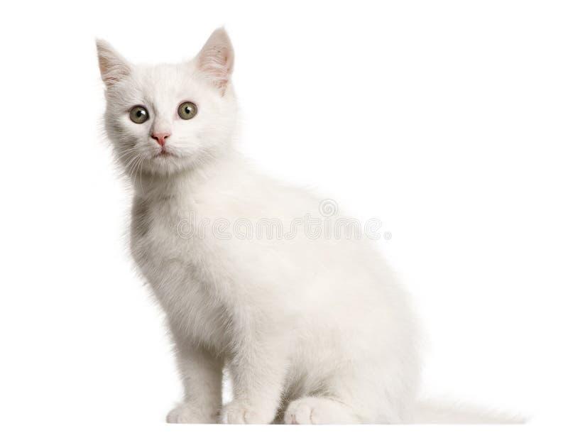 白色小猫杂种猫,3个月 库存照片