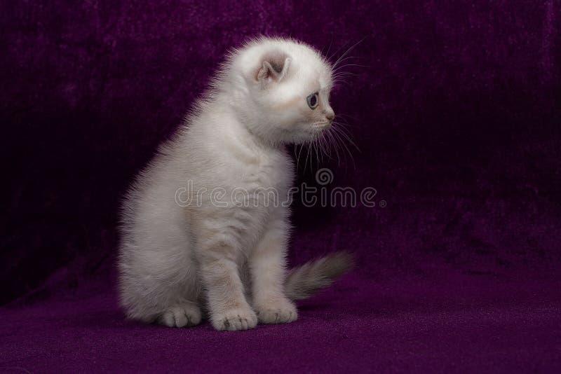 白色小猫苏格兰人折叠 库存图片