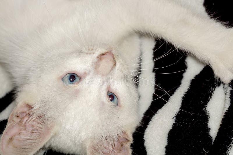 白色小猫画象 免版税库存图片