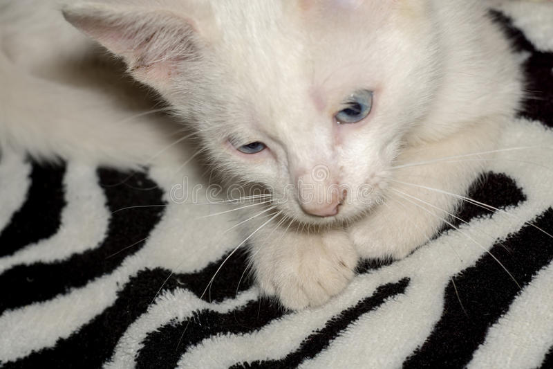白色小猫画象 免版税库存照片