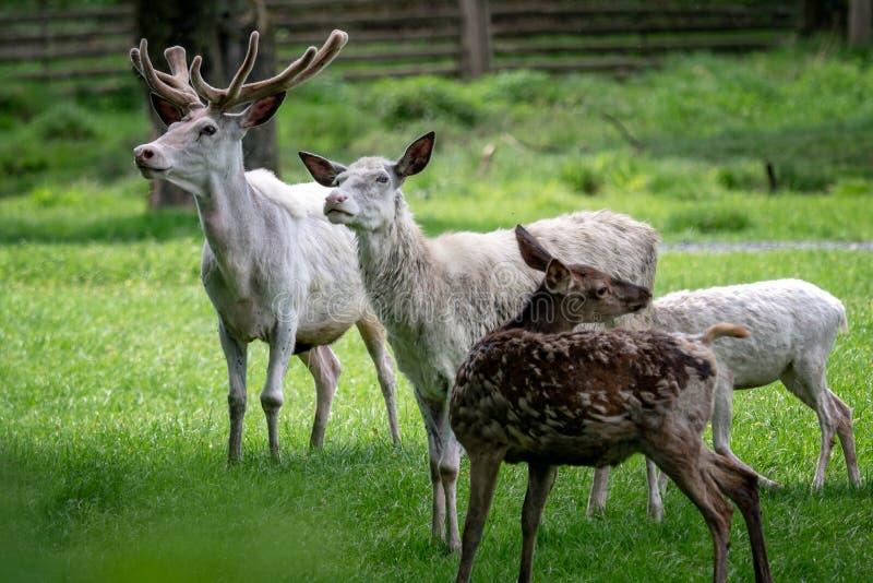 白色小鹿牧群  罕见的白变种小鹿Da 库存照片