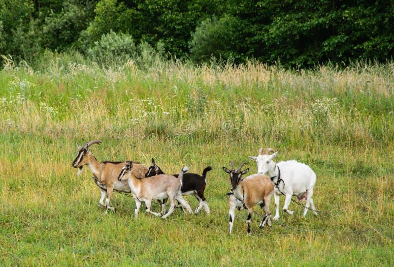 白色山羊和幼小山羊在皮带的一个草甸吃草 免版税库存照片