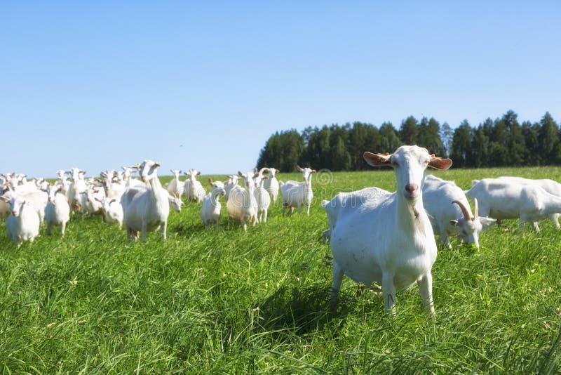 白色山羊大牧群  库存照片