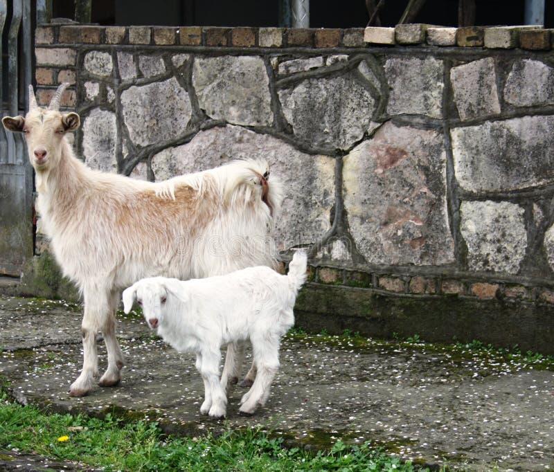 白色山羊家庭 免版税库存图片