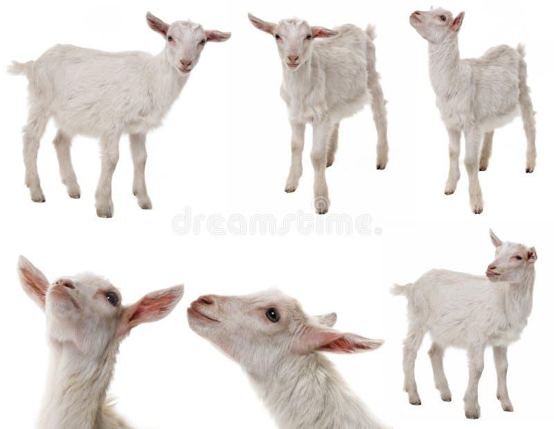 白色山羊汇集 免版税库存照片