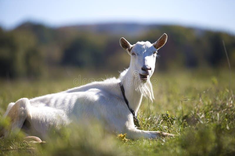 白色山羊画象与胡子的在被弄脏的bokeh背景 种田有用的动物概念 库存图片