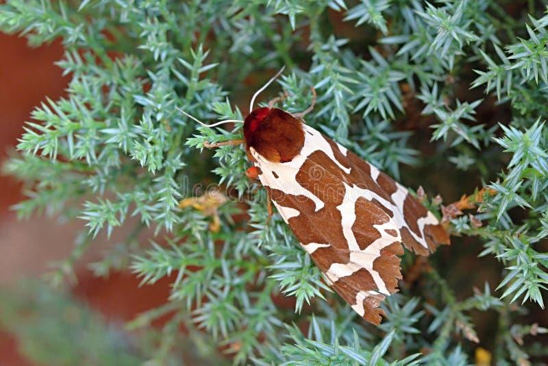 白色布朗猫头鹰之子飞蛾在夏天 图库摄影