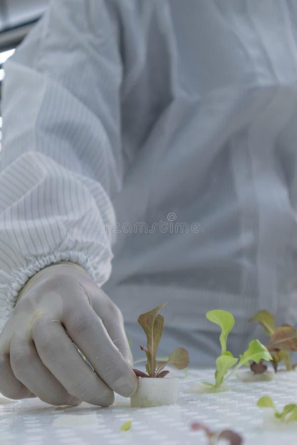 白色干净的衣服的科学家与水耕的植物 库存图片