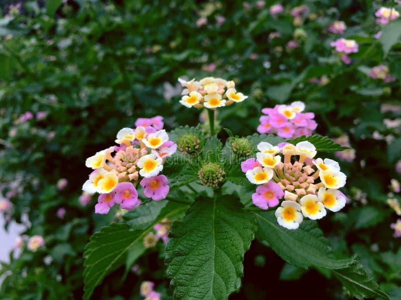 白色平衡的美丽的花是马樱丹属camara 免版税库存图片