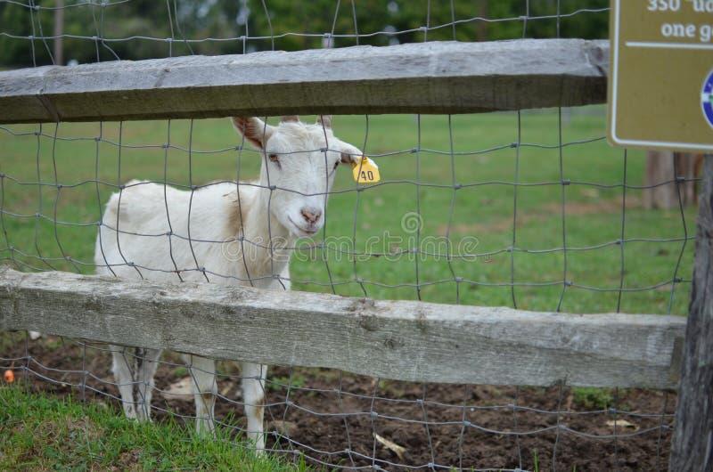 白色幼小山羊 库存图片