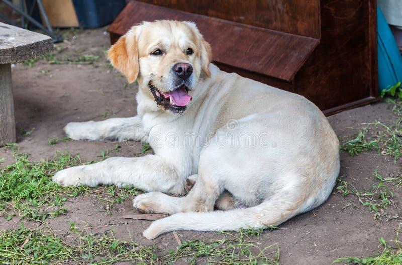 白色幼小拉布拉多猎犬狗小狗 库存照片