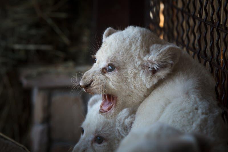 白色幼狮被生在动物园 免版税库存照片