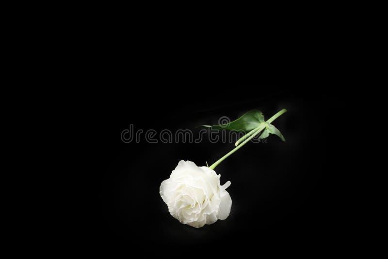 白色康乃馨花顶视图在黑背景的 库存图片