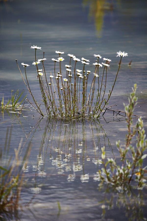 白色延命菊狗雏菊在蓝色湖 免版税图库摄影