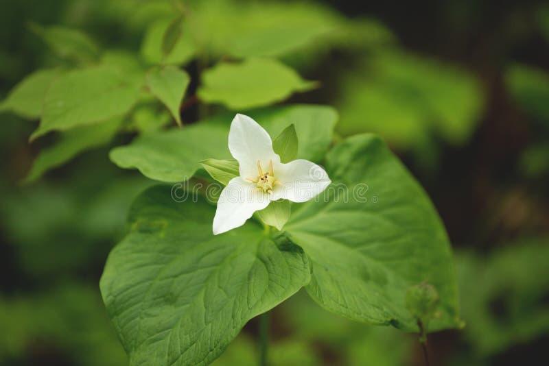 白色延龄草花特写镜头  亦称伟大的白色延龄草,大开花的延龄草、苏醒知更鸟和木头百合 图库摄影